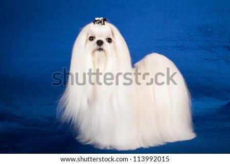 Maltese dog on blue background - stock photo