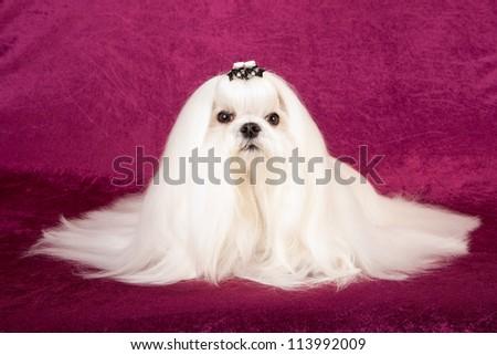 Maltese dog on burgundy plum background - stock photo