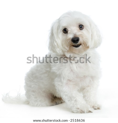 maltese dog sitting in front of white background