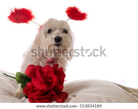 Maltese dog wearing colorful red beads sitting on a white pillow isolated on a white background wearing and a head band that says kiss me with a bouquet of roses . Valentine Dog.