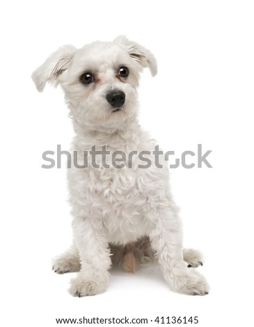 Maltese dog, 1 year old, sitting in front of a white background, studio shot