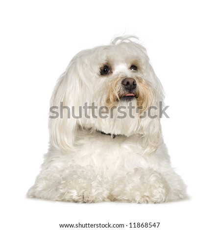 Maltese dog (2 years) in front of A white background
