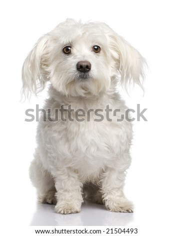 maltese dog (5 years) in front of A white background