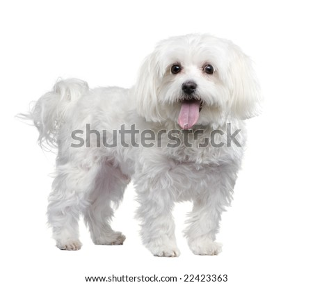 maltese dog (4 years) in front of a white background