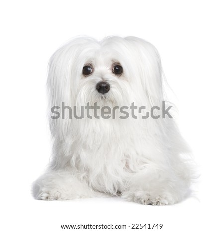 maltese dog (8 years) in front of A white background