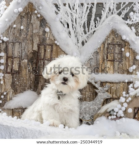 Maltese in front of a Christmas scenery - stock photo