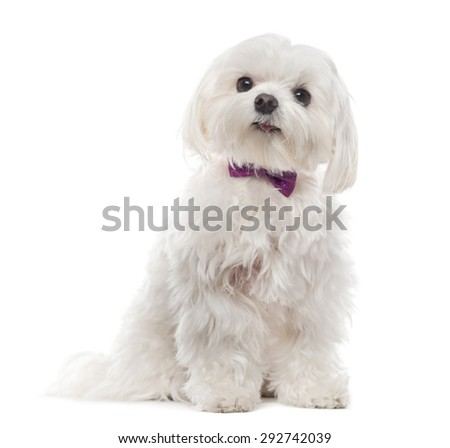 Maltese in front of white background - stock photo