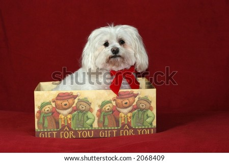 maltese in holiday box