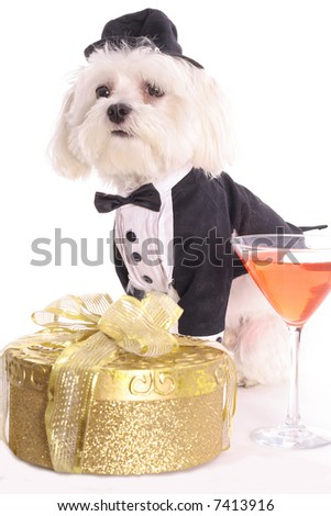 Maltese in tuxedo ready for party - stock photo