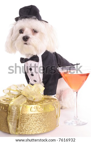 Maltese in tuxedo with cocktail - stock photo