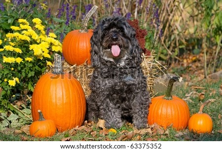 Maltese-Poodle with Fall Scene