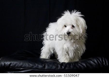 Maltese puppy - stock photo