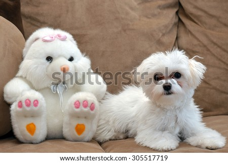 Maltese puppy and bunny toy