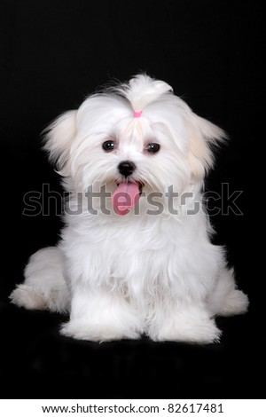 Maltese puppy, dog isolated on black - stock photo
