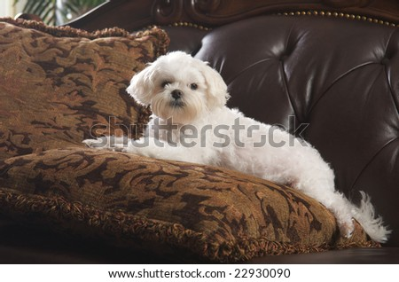 Maltese Puppy Dog Relaxing on Her Pillow on the Couch - stock photo