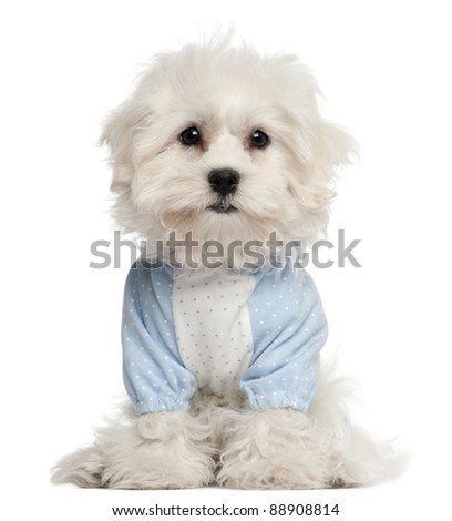 Maltese puppy dressed in blue, 3 months old, in front of white background - stock photo