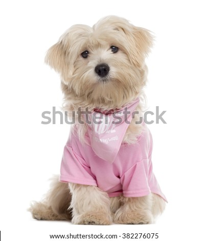 Maltese puppy dressed, sitting and looking at the camera (8 months old) - stock photo