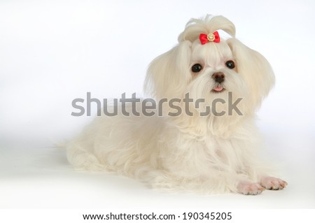 Maltese puppy isolated over white background