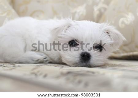 Maltese puppy lying on the sofa - stock photo