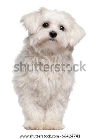 Maltese puppy, 9 month old, standing in front of white background