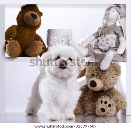Maltese puppy, 3 months old - stock photo