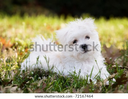 Maltese puppy (2 months old) laying outside - stock photo