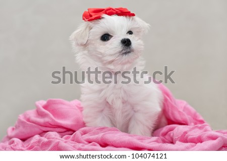 Maltese puppy, 2 months old, looks up - stock photo