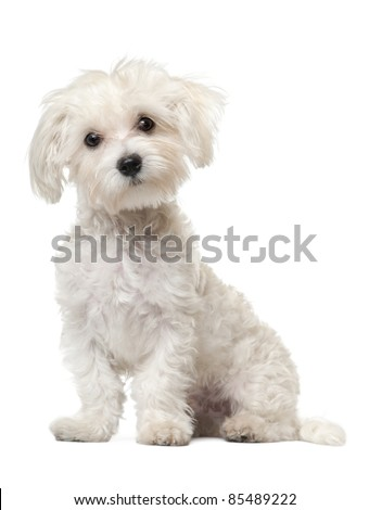 Maltese puppy, 6 months old, sitting in front of white background - stock photo