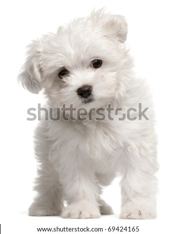 Maltese puppy, 2 months old, standing in front of white background