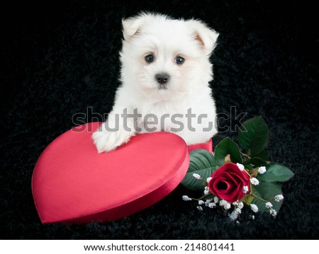 Maltese puppy sitting in a heart shaped box with a red rose beside her on a black background. - stock photo
