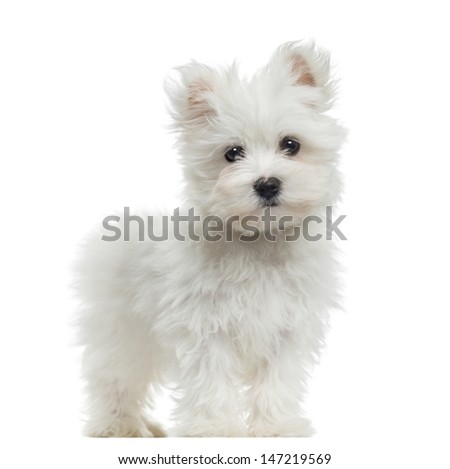 Maltese puppy standing, looking at the camera, 2 months old, isolated on white - stock photo