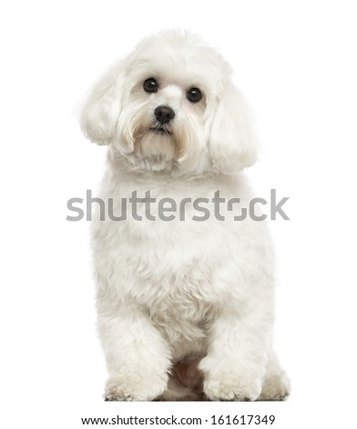 Maltese sitting, looking at the camera, isolated on white