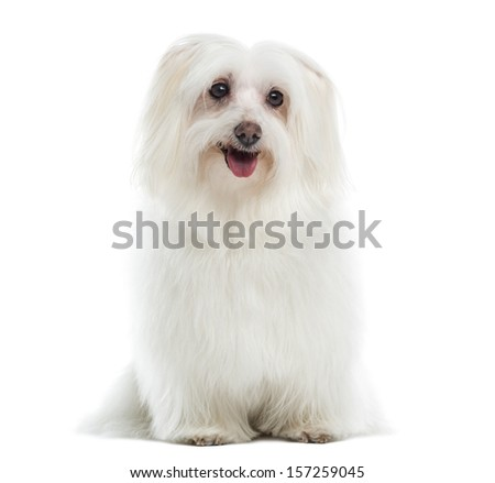 Maltese sitting, panting, isolated on white