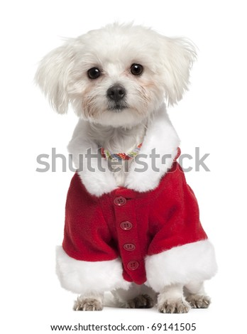 Maltese wearing Santa outfit, 18 months old, sitting in front of white background - stock photo