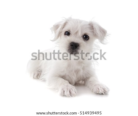 Maltese Westie or West Highland Terrier puppy isolated on white background