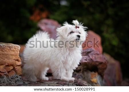 Maltese white in colors - stock photo