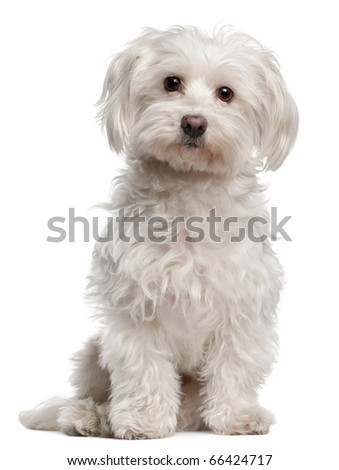 Maltese, 8 years old, sitting in front of white background