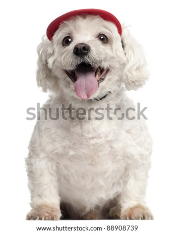 Maltese, 9 years old, wearing a cap and sitting in front of white background