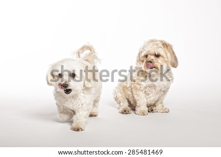 Maltipoo And Morkie Puppies On White Background - stock photo