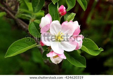 Malus domestica also commonly known as a  red delicious apple blossom - stock photo