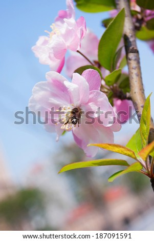 Malus halliana flower in spring  - stock photo