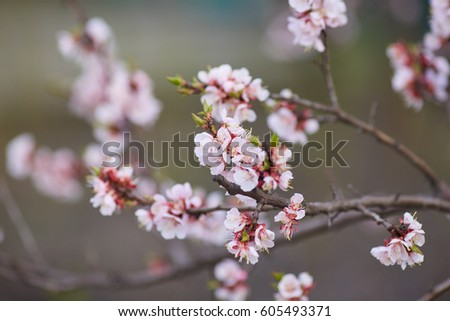 Malus pumila natural lovely pink fragrant stock photo edit now malus pumila natural lovely pink fragrant spring flowers of a paradise apple tree in mightylinksfo