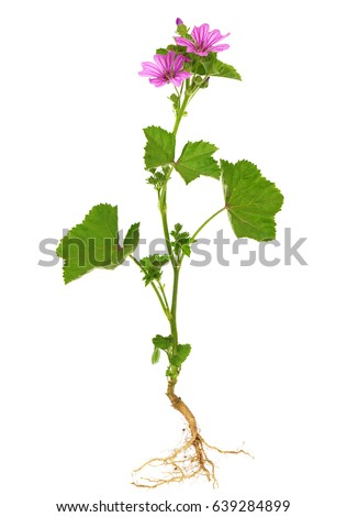 Common Mallow Stock Images RoyaltyFree Images Vectors