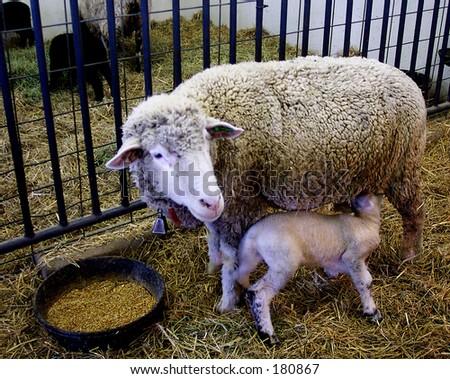 Mama Sheep with Baby Lamb - stock photo