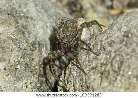 Mama Wolf Spider With Babies On Her Back - stock photo