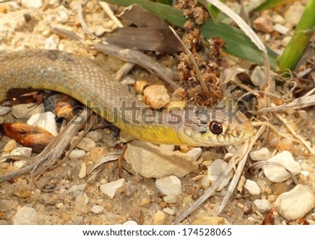Mamba look-alike, the large, fast and colorful Coluber constrictor flaviventris, coiled defensively with a large meal in its belly - stock photo