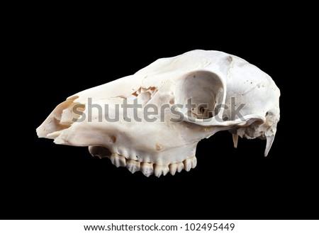 mammalian skull, isolated on black - stock photo