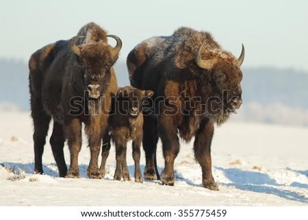 Mammals - European bison (Bison bonasus) - stock photo