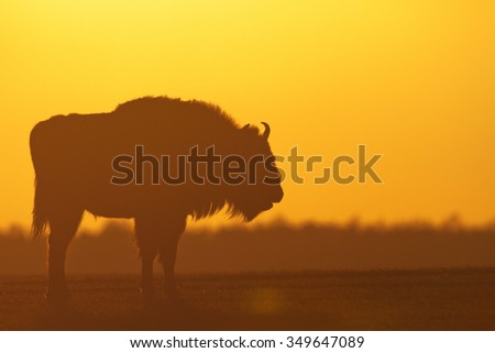 Mammals - European bison (Bison bonasus) - sundown - stock photo