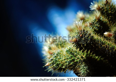 Mammillaria wildii cactus - selective focus at the flower. Shallow depth of field. Plant in the flowerpot on the blue background under natural sunlight - stock photo
